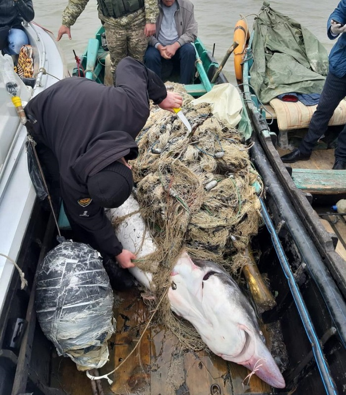Браконьеры поймали гигансткую белугу. ФОТО. ВИДЕО