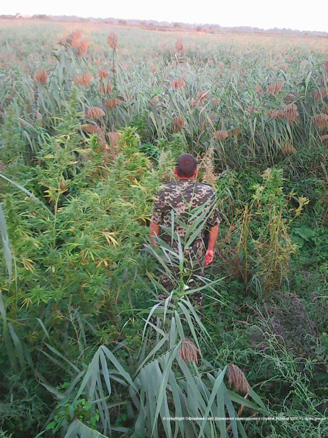 Пограничники обнарукжили плантацию конопли