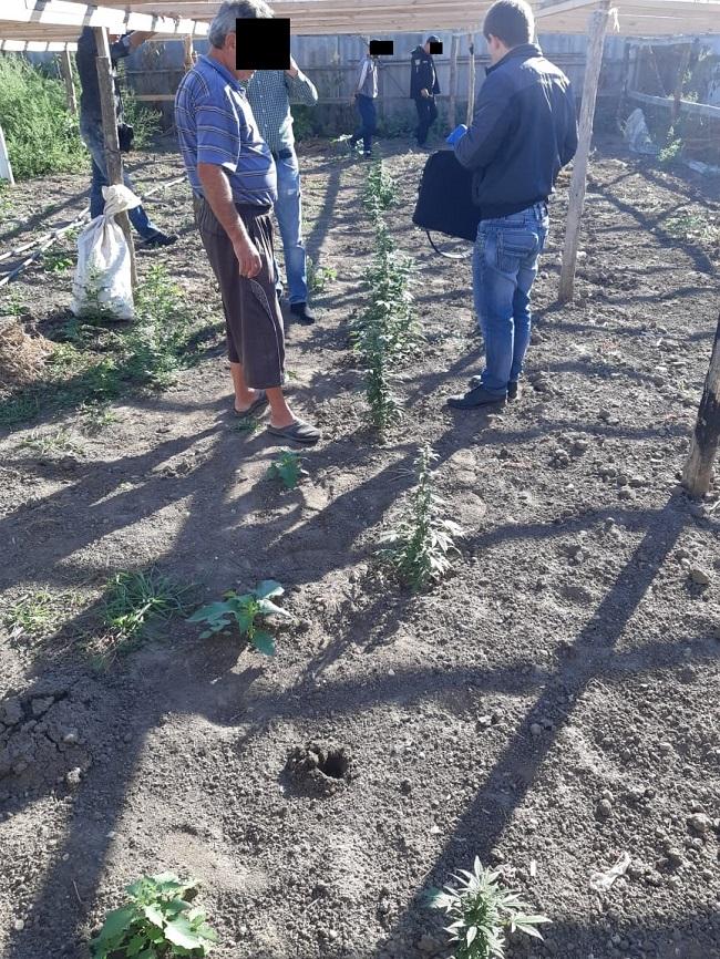 Житель села Виноградовка выращивал в огороде коноплю