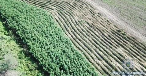 Время собирать урожай. Гектар конопли обнаружен под Кислицами