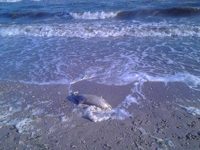 Гибель дельфинов Черное море