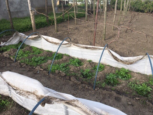 В Измаильском районе мужчина незаконно выращивал коноплю. ФОТО